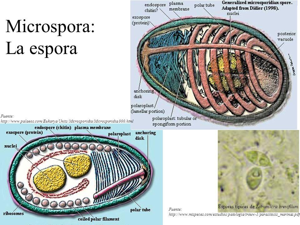 Microspora: La espora Fuente: http://www.palaeos.com/Eukarya/Units/Microsporidia/Microsporidia.000.html.