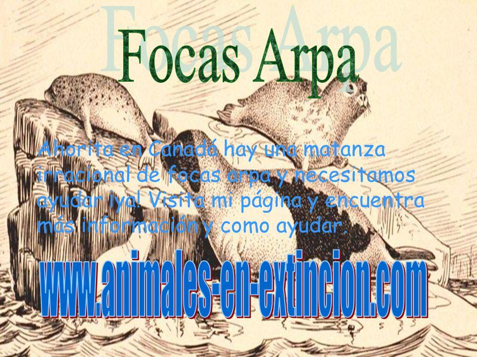 Focas Arpa www.animales-en-extincion.com