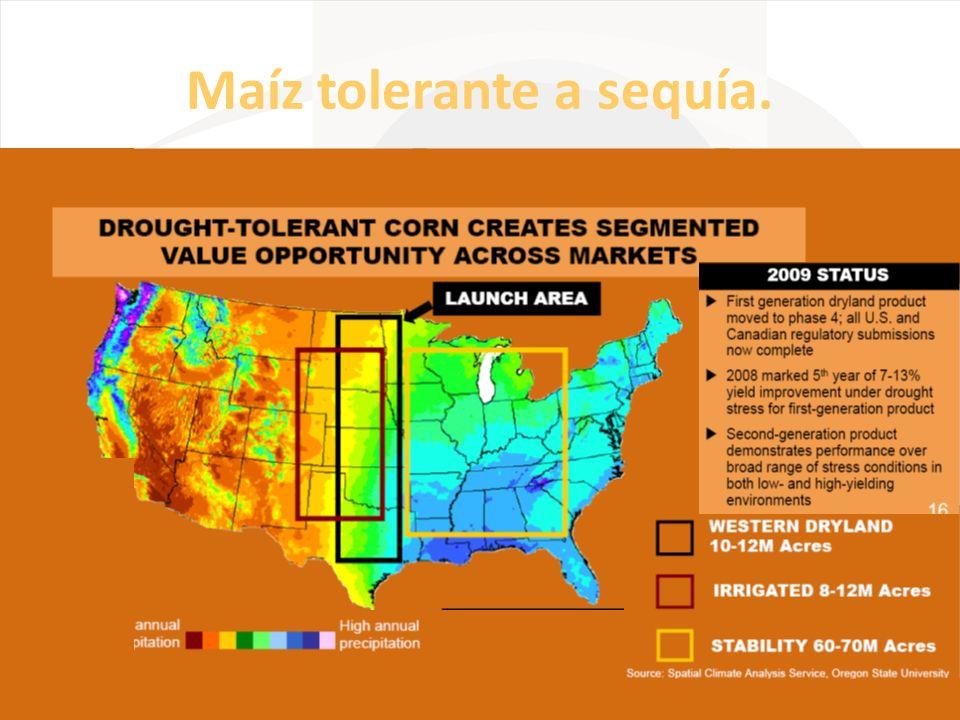 Maíz tolerante a sequía.