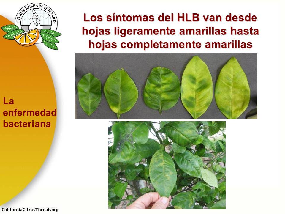 Los síntomas del HLB van desde hojas ligeramente amarillas hasta hojas completamente amarillas