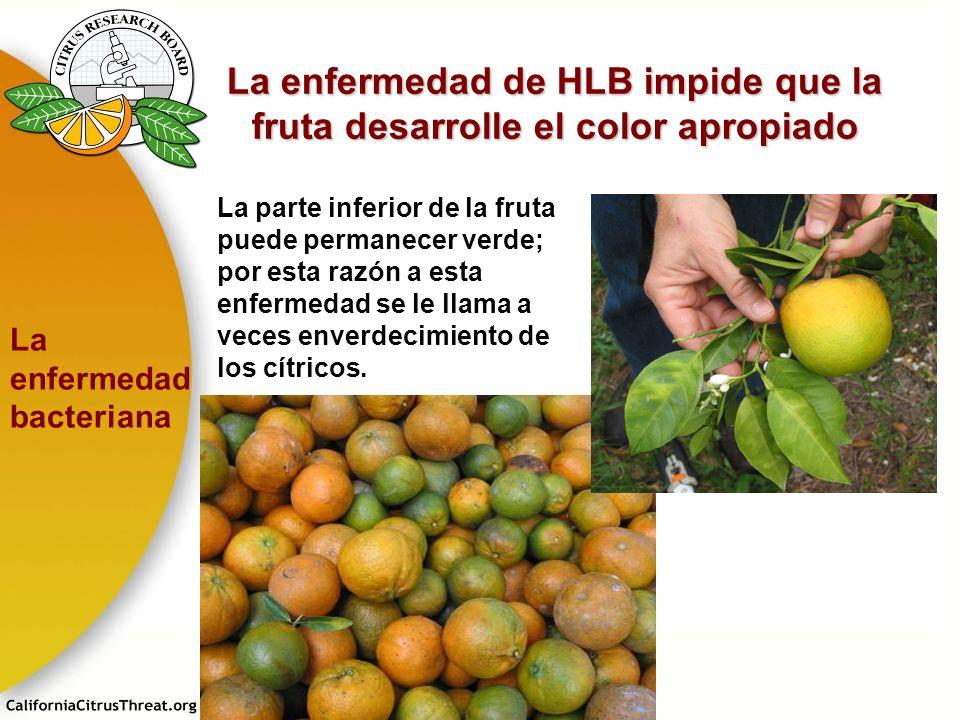 La enfermedad de HLB impide que la fruta desarrolle el color apropiado