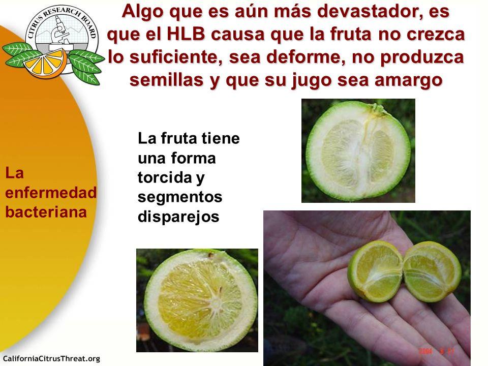 Algo que es aún más devastador, es que el HLB causa que la fruta no crezca lo suficiente, sea deforme, no produzca semillas y que su jugo sea amargo