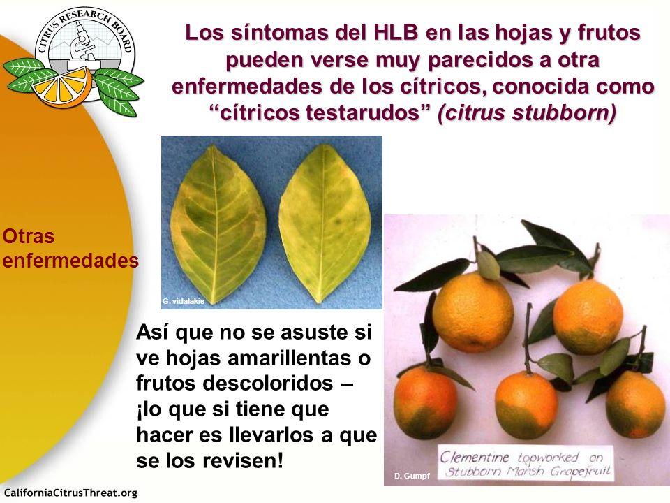 Los síntomas del HLB en las hojas y frutos pueden verse muy parecidos a otra enfermedades de los cítricos, conocida como cítricos testarudos (citrus stubborn)
