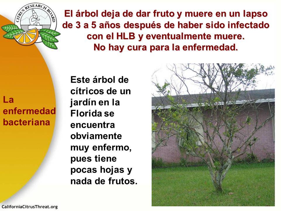 El árbol deja de dar fruto y muere en un lapso de 3 a 5 años después de haber sido infectado con el HLB y eventualmente muere. No hay cura para la enfermedad.