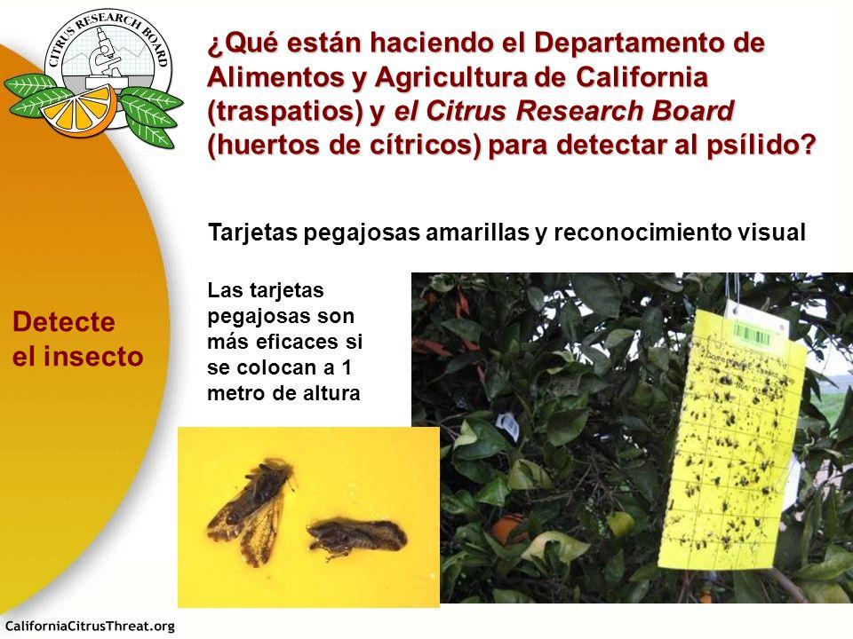 ¿Qué están haciendo el Departamento de Alimentos y Agricultura de California (traspatios) y el Citrus Research Board (huertos de cítricos) para detectar al psílido