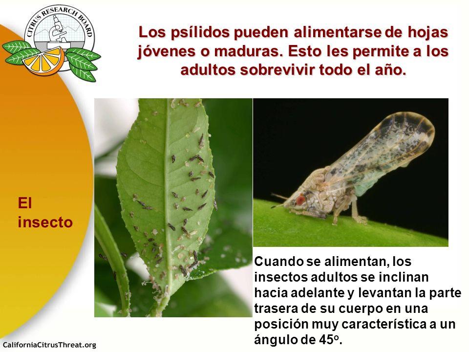 Los psílidos pueden alimentarse de hojas jóvenes o maduras