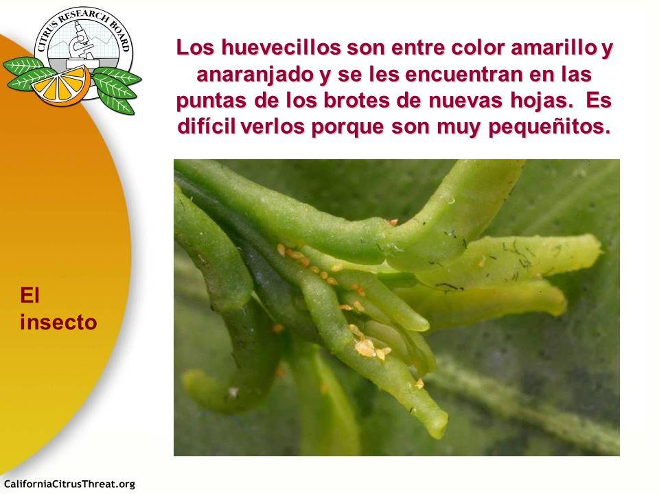 Los huevecillos son entre color amarillo y anaranjado y se les encuentran en las puntas de los brotes de nuevas hojas. Es difícil verlos porque son muy pequeñitos.