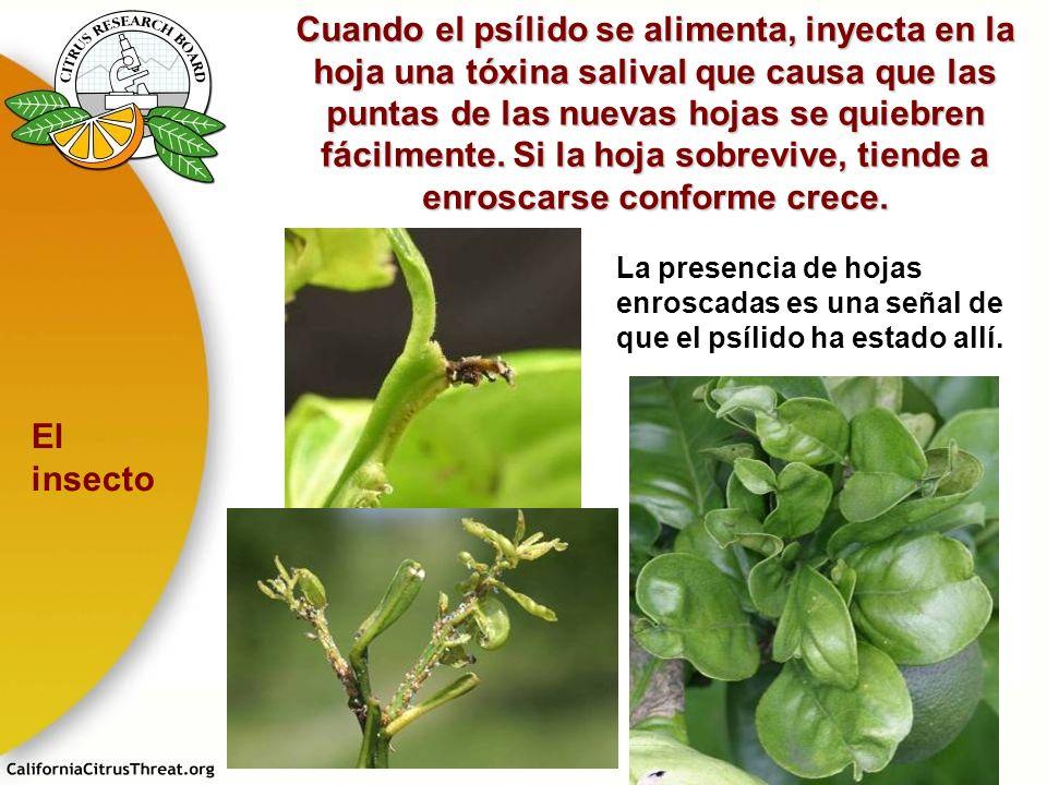 Cuando el psílido se alimenta, inyecta en la hoja una tóxina salival que causa que las puntas de las nuevas hojas se quiebren fácilmente. Si la hoja sobrevive, tiende a enroscarse conforme crece.
