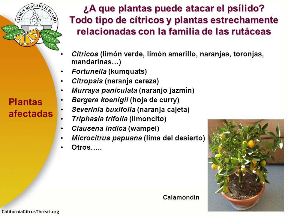 ¿A que plantas puede atacar el psílido
