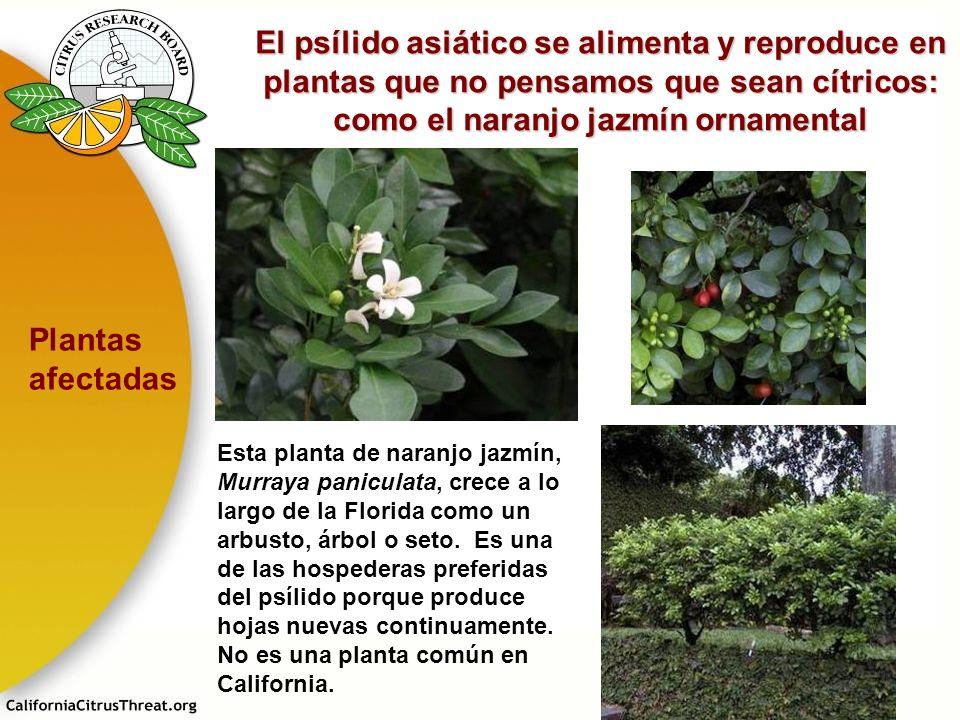El psílido asiático se alimenta y reproduce en plantas que no pensamos que sean cítricos: como el naranjo jazmín ornamental