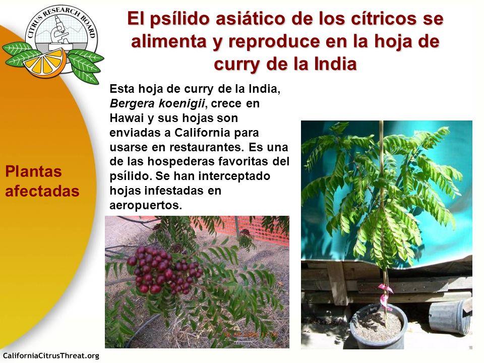 El psílido asiático de los cítricos se alimenta y reproduce en la hoja de curry de la India