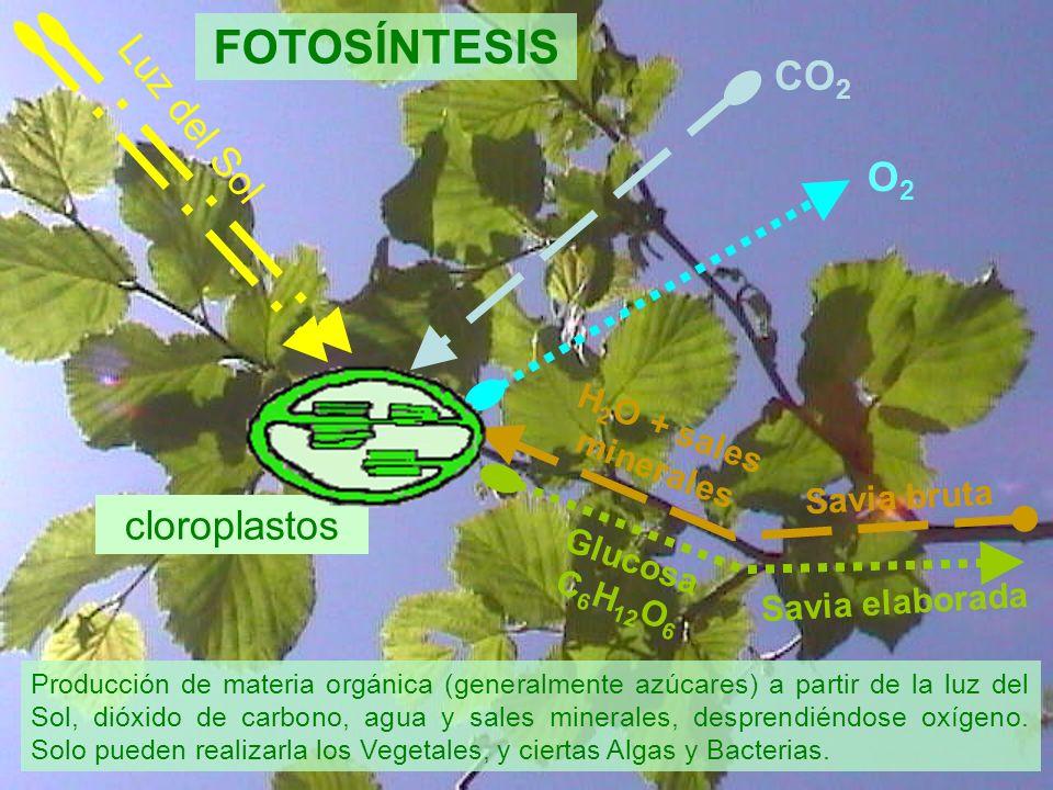 FOTOSÍNTESIS CO2 Luz del Sol O2 cloroplastos H2O + sales minerales