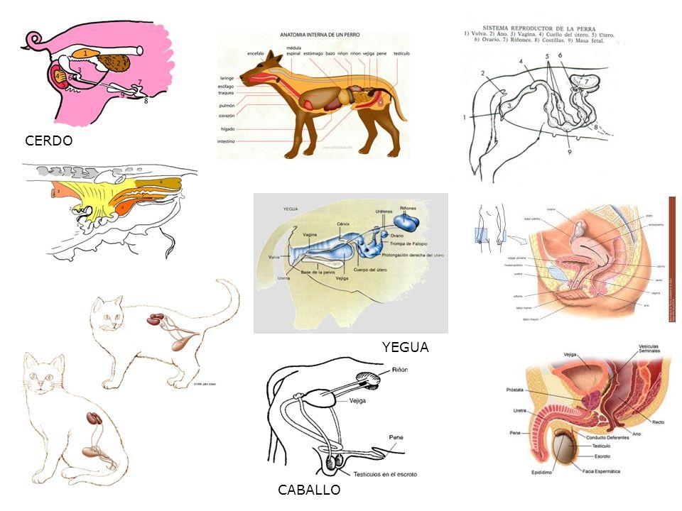 Dorable Anatomía Externa De Un Cerdo Fetal Patrón - Imágenes de ...