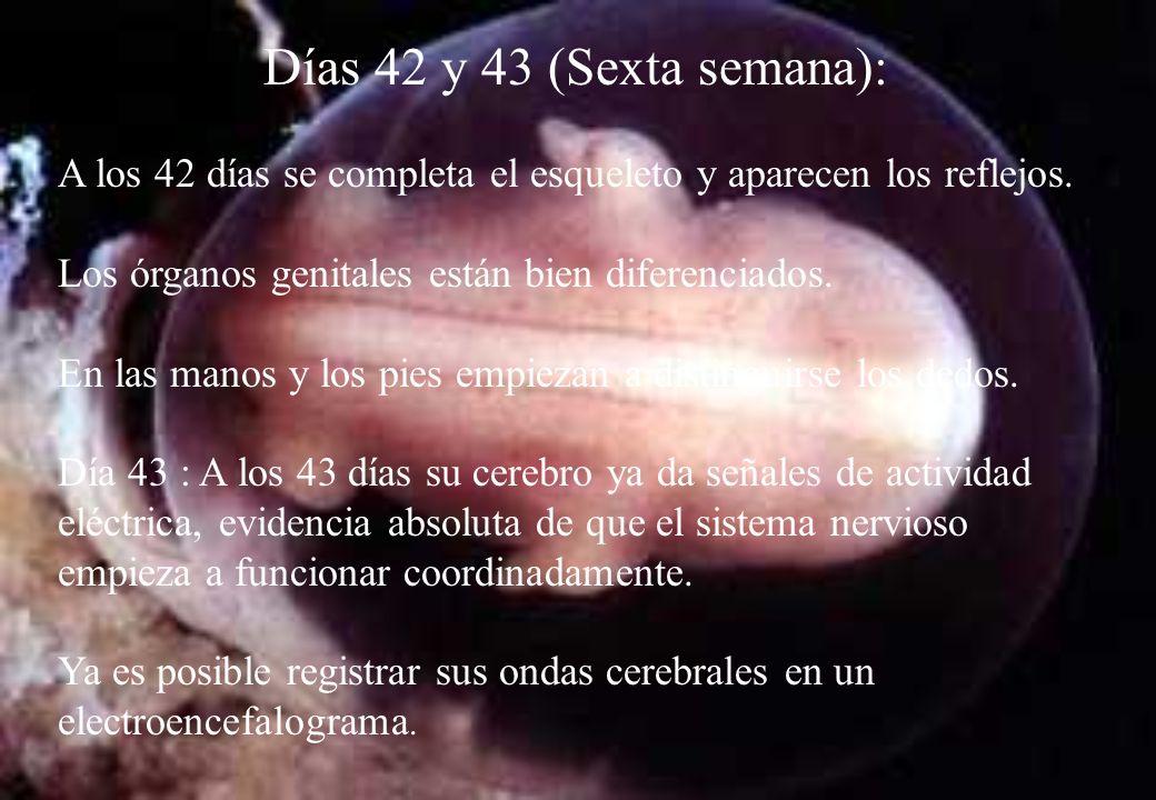 Días 42 y 43 (Sexta semana): A los 42 días se completa el esqueleto y aparecen los reflejos. Los órganos genitales están bien diferenciados.