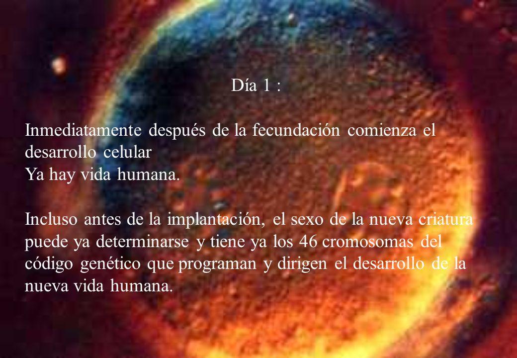 Día 1 : Inmediatamente después de la fecundación comienza el desarrollo celular. Ya hay vida humana.