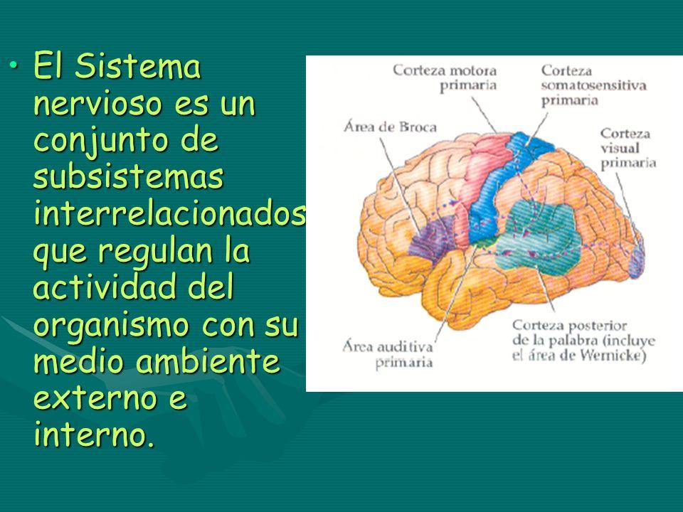 El Sistema nervioso es un conjunto de subsistemas interrelacionados que regulan la actividad del organismo con su medio ambiente externo e interno.