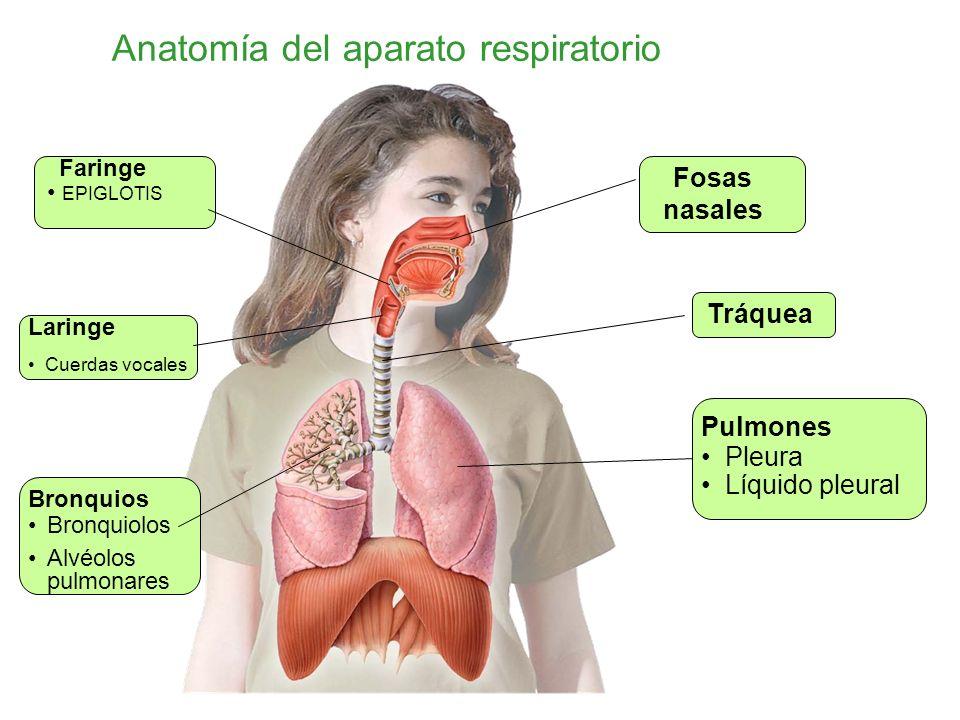 Atractivo Anatomía Del Tracto Respiratorio Superior Viñeta ...