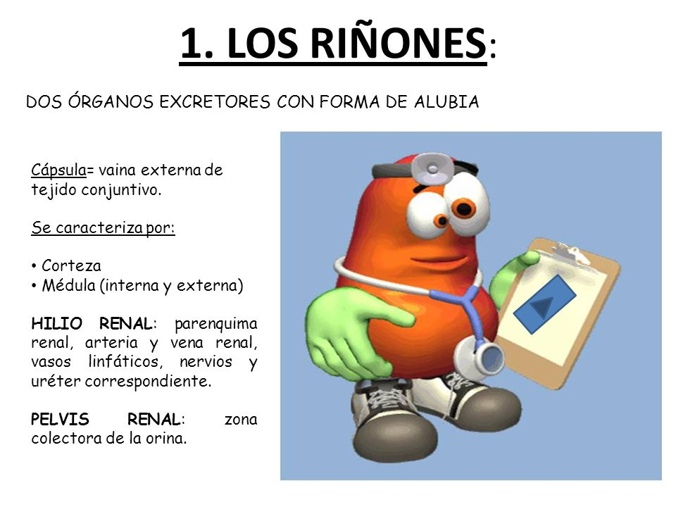1. LOS RIÑONES: DOS ÓRGANOS EXCRETORES CON FORMA DE ALUBIA