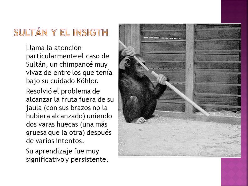 Sultán y el Insigth Llama la atención particularmente el caso de Sultán, un chimpancé muy vivaz de entre los que tenía bajo su cuidado Köhler.