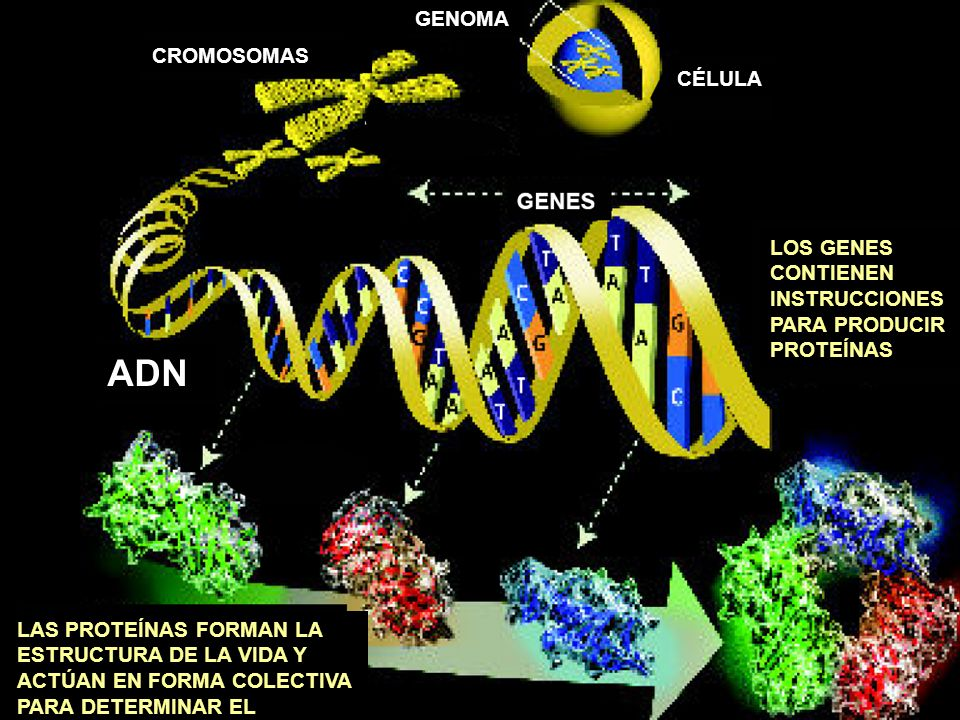 ADN GENOMA CROMOSOMAS CÉLULA