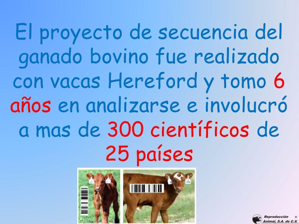 El proyecto de secuencia del ganado bovino fue realizado con vacas Hereford y tomo 6 años en analizarse e involucró a mas de 300 científicos de 25 países
