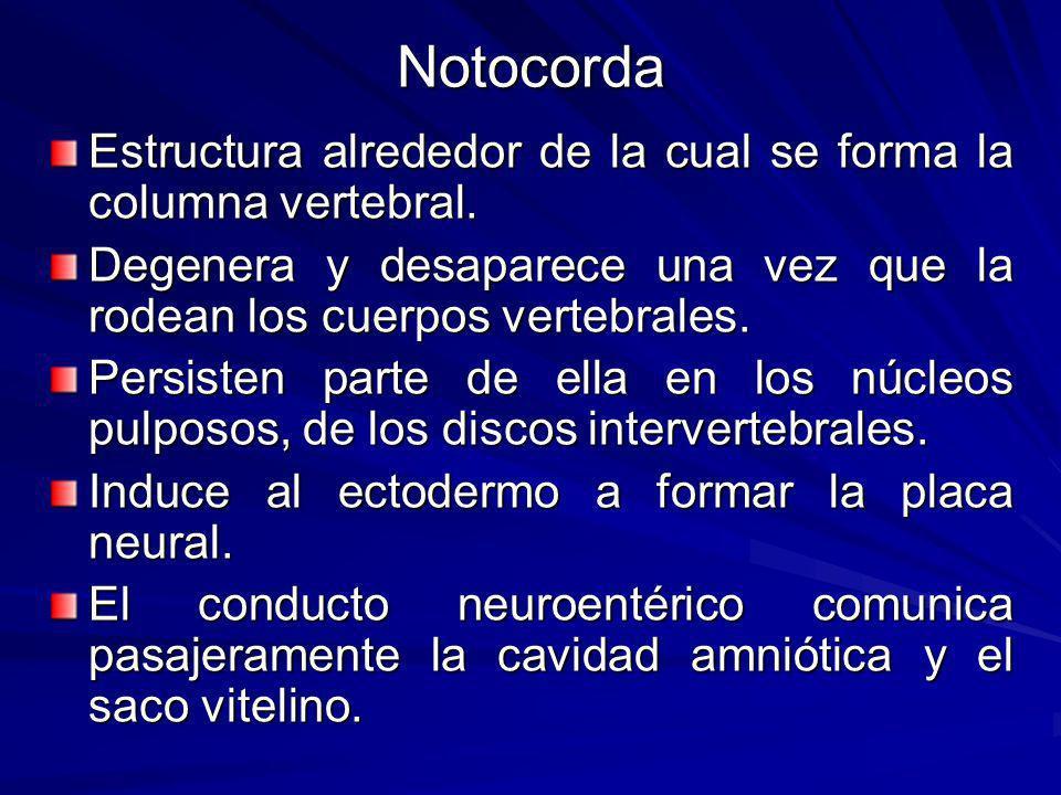 Notocorda Estructura alrededor de la cual se forma la columna vertebral. Degenera y desaparece una vez que la rodean los cuerpos vertebrales.