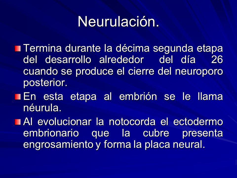 Neurulación. Termina durante la décima segunda etapa del desarrollo alrededor del día 26 cuando se produce el cierre del neuroporo posterior.