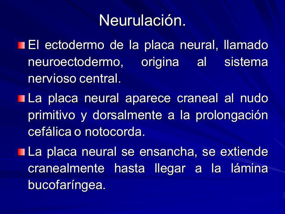 Neurulación. El ectodermo de la placa neural, llamado neuroectodermo, origina al sistema nervioso central.