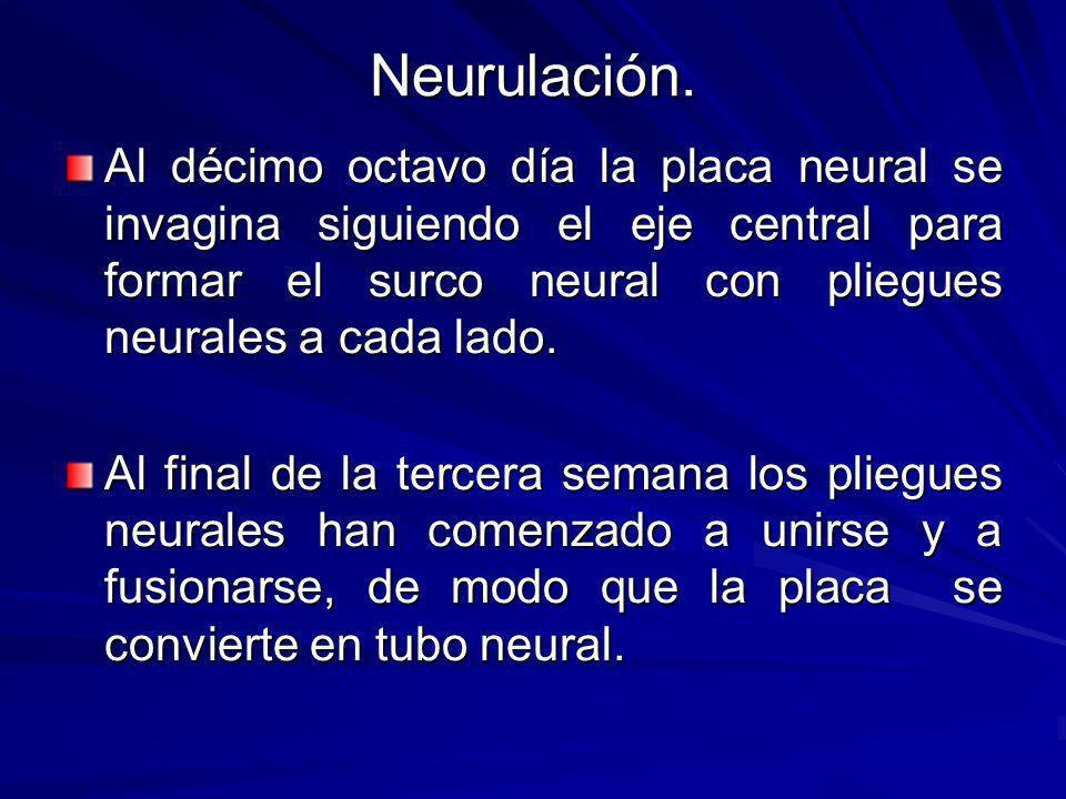 Neurulación. Al décimo octavo día la placa neural se invagina siguiendo el eje central para formar el surco neural con pliegues neurales a cada lado.