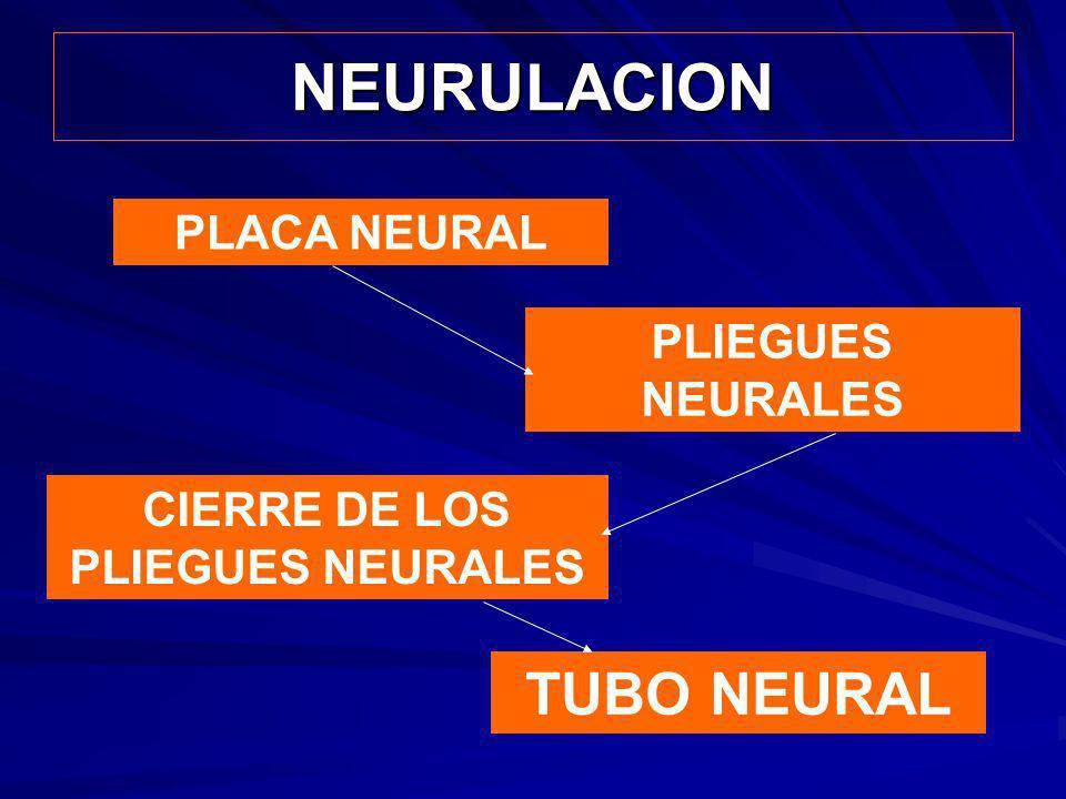 CIERRE DE LOS PLIEGUES NEURALES