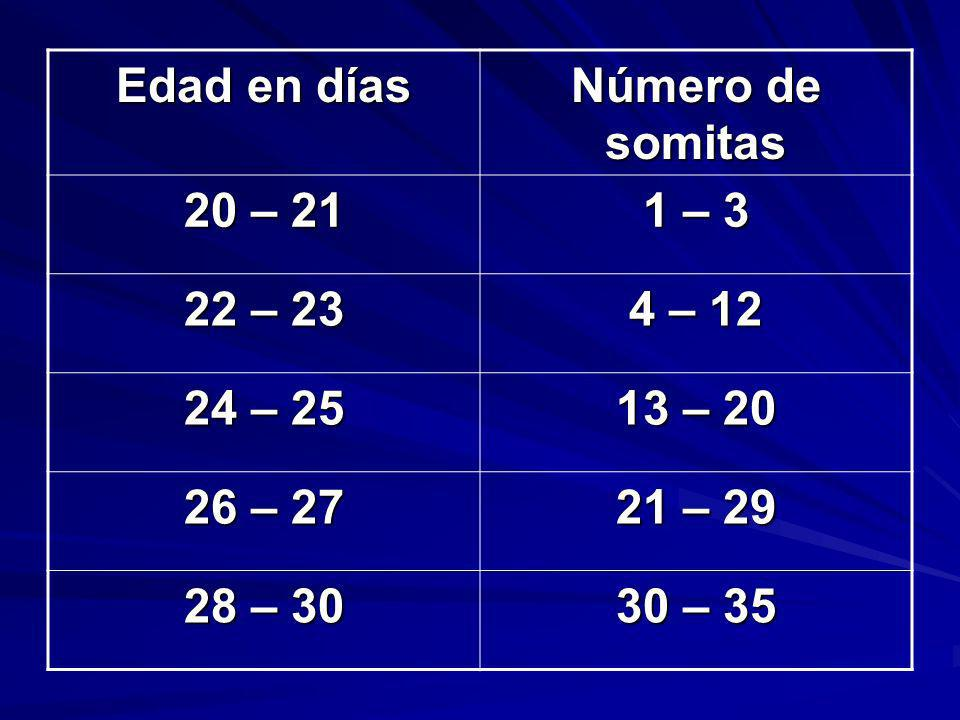 Edad en días Número de somitas. 20 – 21. 1 – 3. 22 – 23. 4 – 12. 24 – 25. 13 – 20. 26 – 27. 21 – 29.