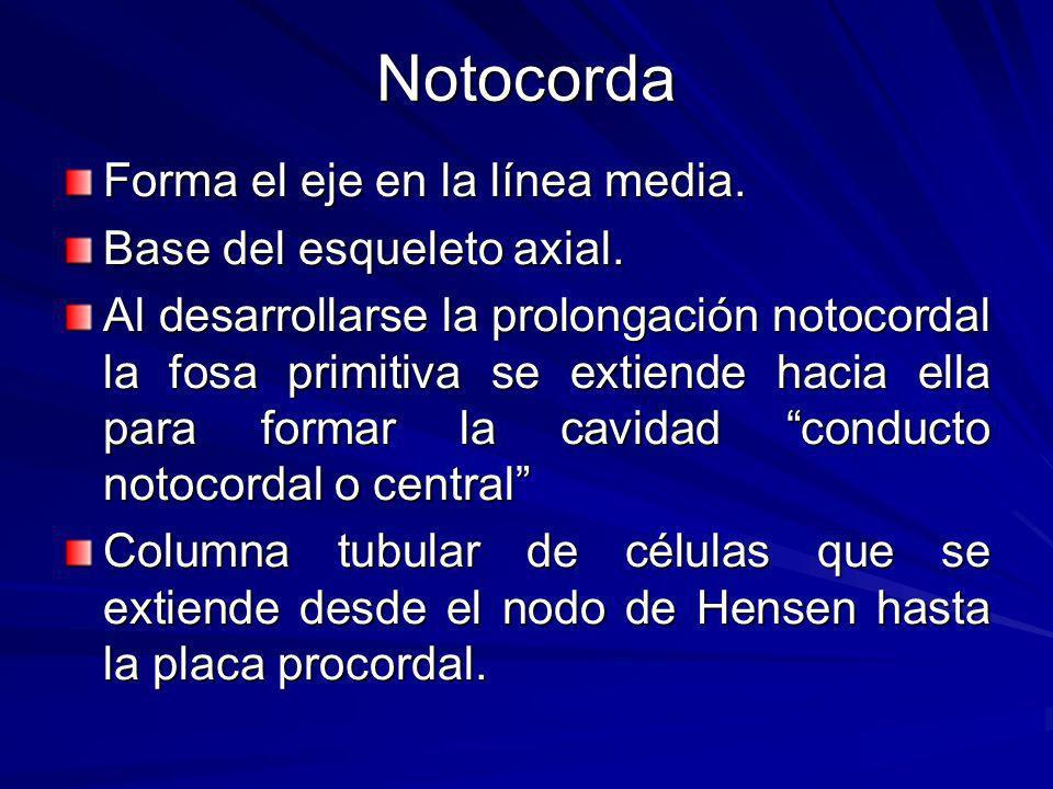 Notocorda Forma el eje en la línea media. Base del esqueleto axial.