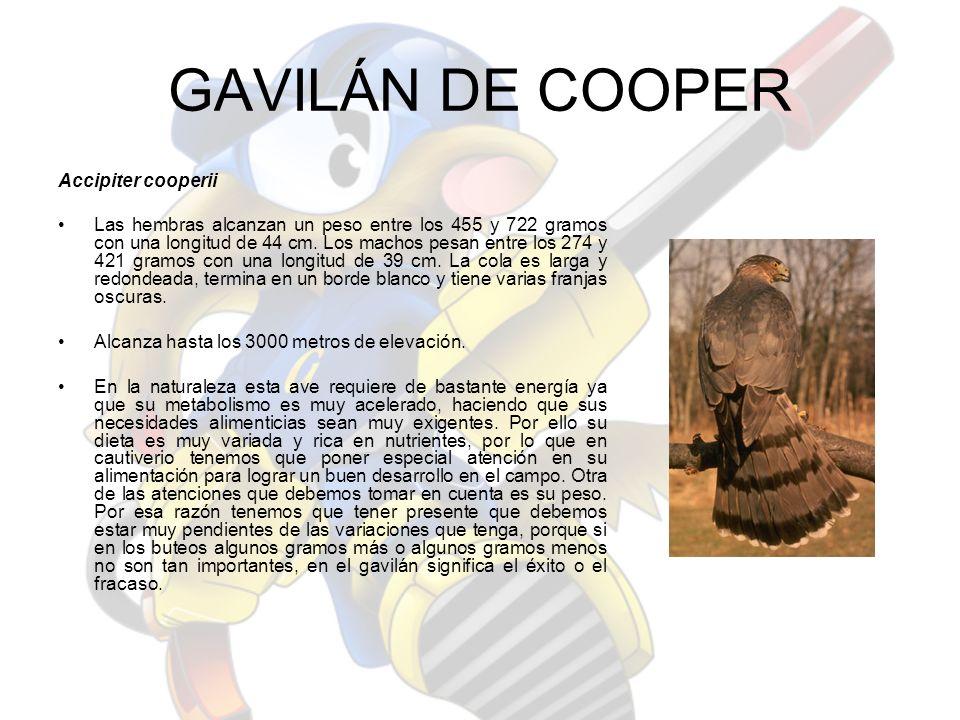 GAVILÁN DE COOPER Accipiter cooperii