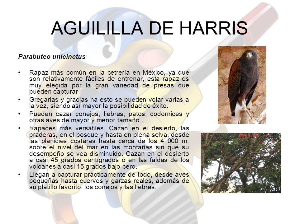 AGUILILLA DE HARRIS Parabuteo unicinctus