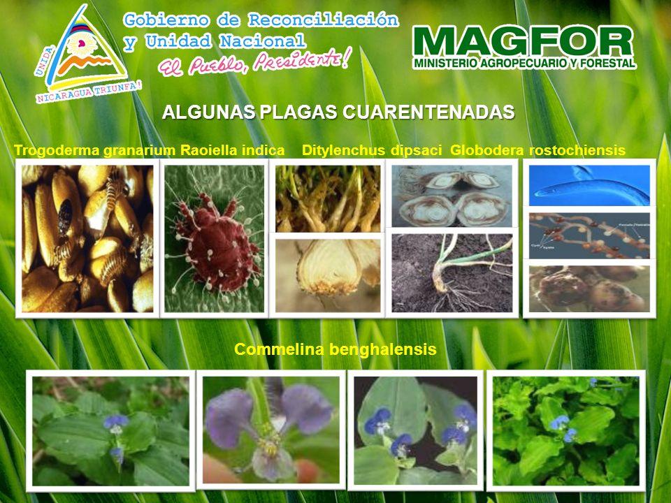 ALGUNAS PLAGAS CUARENTENADAS Commelina benghalensis