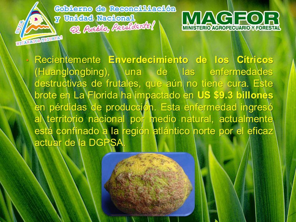 Recientemente Enverdecimiento de los Cítricos (Huanglongbing), una de las enfermedades destructivas de frutales, que aún no tiene cura.
