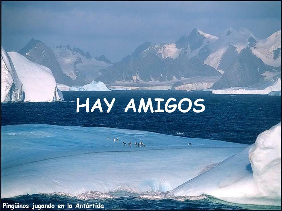 HAY AMIGOS Pingüinos jugando en la Antártida