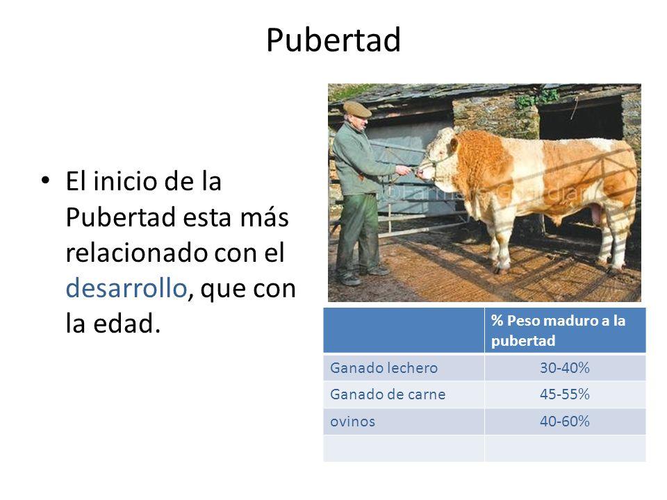 Pubertad El inicio de la Pubertad esta más relacionado con el desarrollo, que con la edad. % Peso maduro a la pubertad.