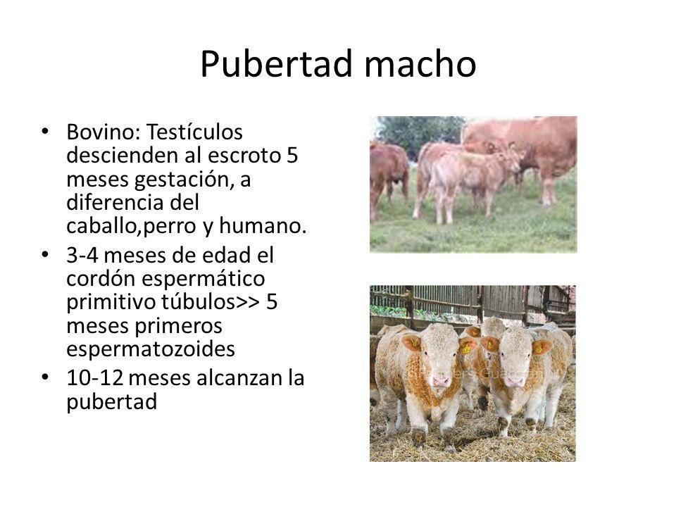 Pubertad macho Bovino: Testículos descienden al escroto 5 meses gestación, a diferencia del caballo,perro y humano.