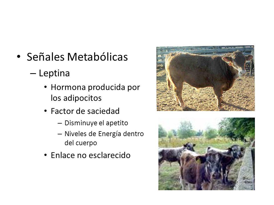 Señales Metabólicas Leptina Hormona producida por los adipocitos