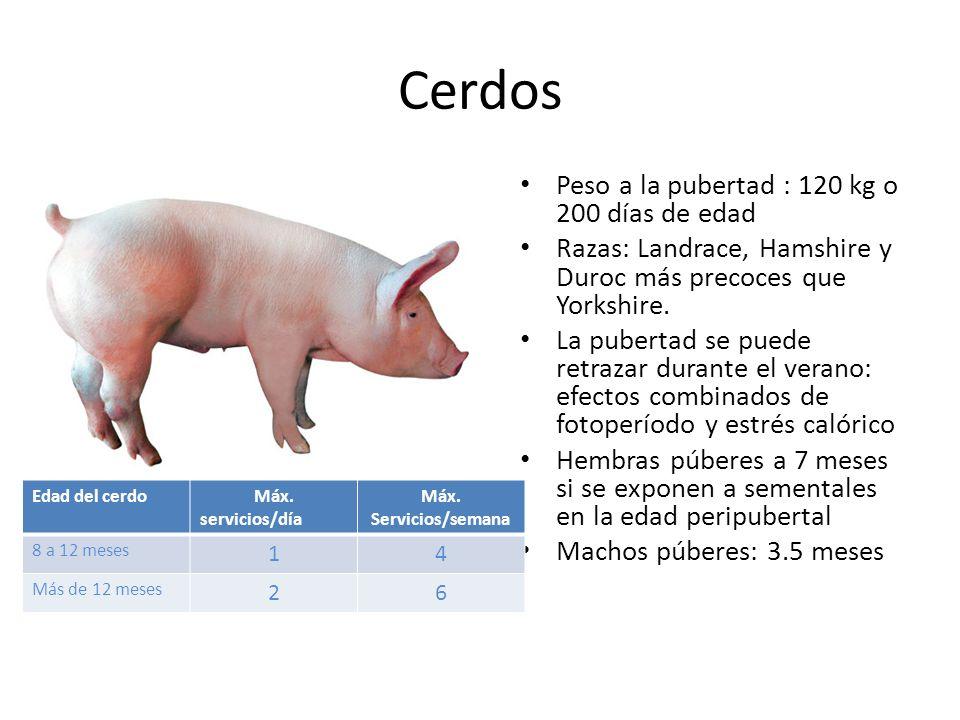 Cerdos Peso a la pubertad : 120 kg o 200 días de edad
