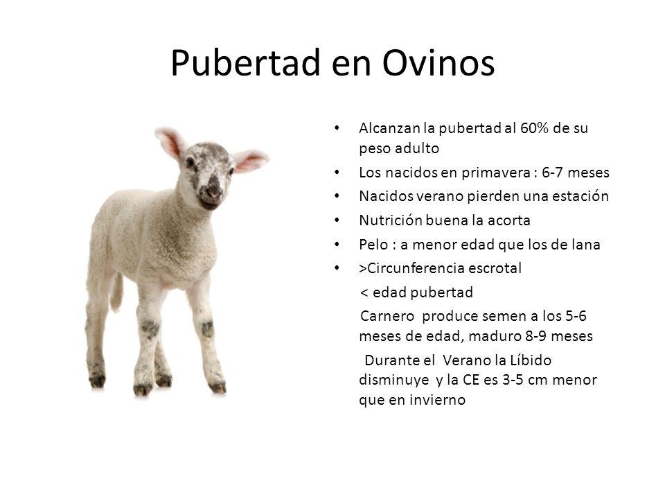 Pubertad en Ovinos Alcanzan la pubertad al 60% de su peso adulto