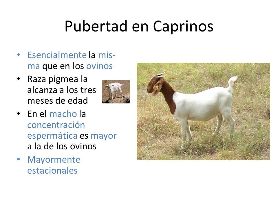 Pubertad en Caprinos Esencialmente la mis-ma que en los ovinos