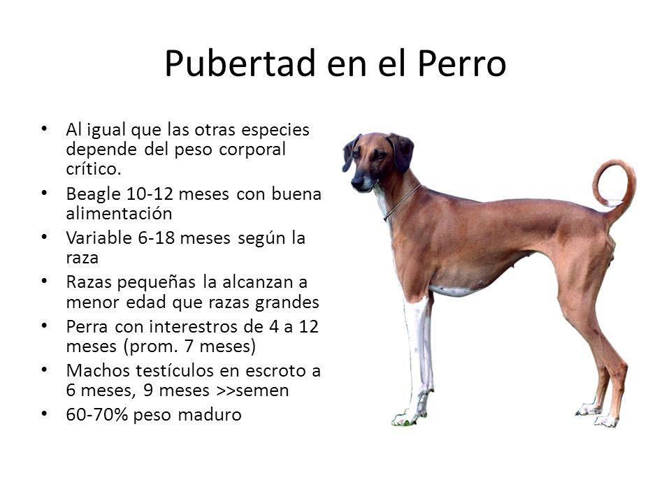 Pubertad en el Perro Al igual que las otras especies depende del peso corporal crítico. Beagle 10-12 meses con buena alimentación.