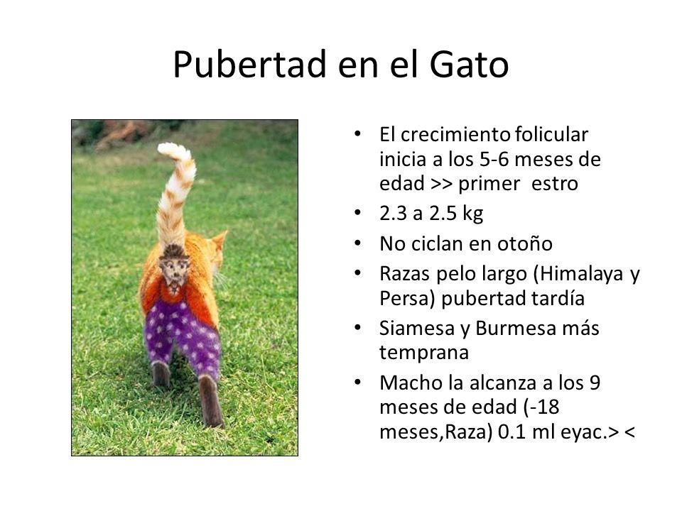 Pubertad en el Gato El crecimiento folicular inicia a los 5-6 meses de edad >> primer estro. 2.3 a 2.5 kg.