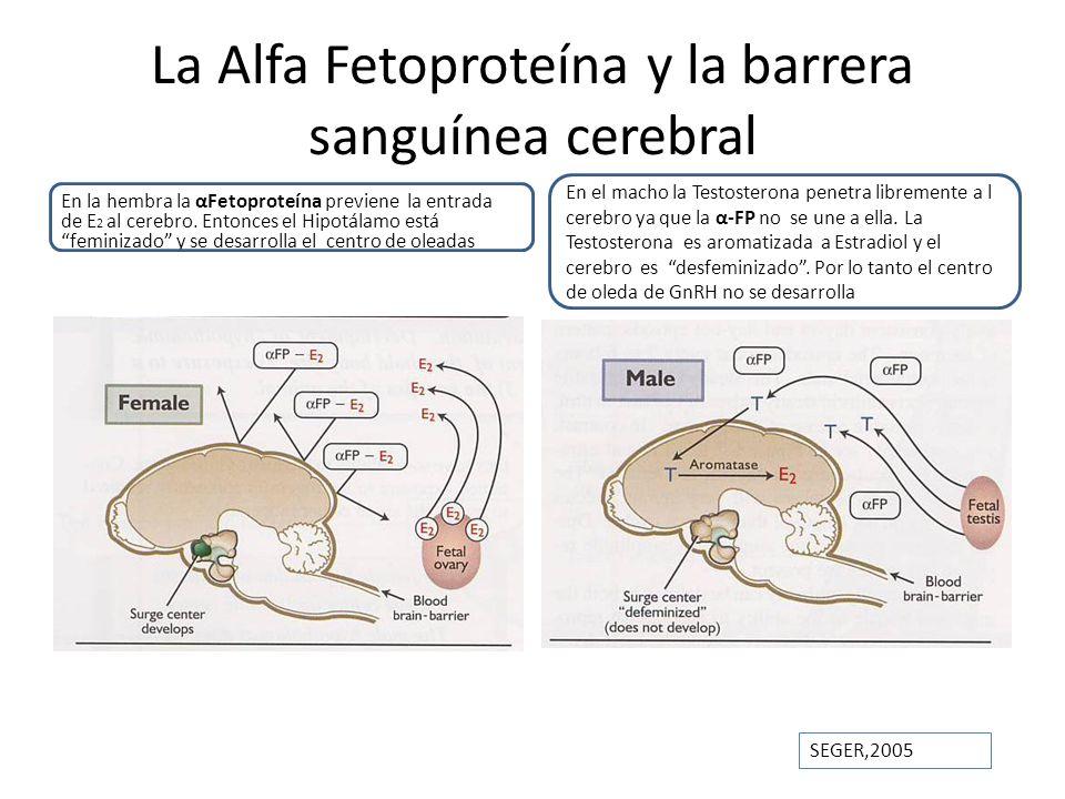 La Alfa Fetoproteína y la barrera sanguínea cerebral