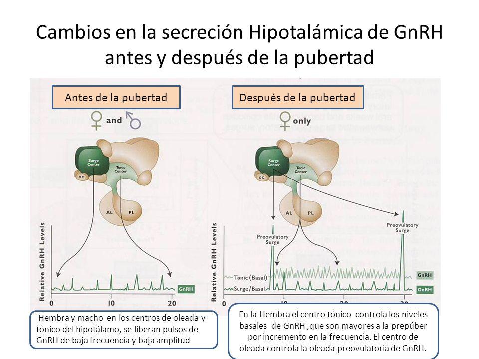 Cambios en la secreción Hipotalámica de GnRH antes y después de la pubertad
