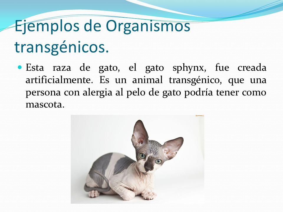 Ejemplos de Organismos transgénicos.
