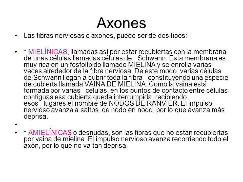 Axones Las fibras nerviosas o axones, puede ser de dos tipos: