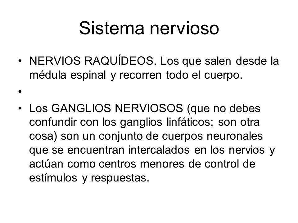Sistema nervioso NERVIOS RAQUÍDEOS. Los que salen desde la médula espinal y recorren todo el cuerpo.